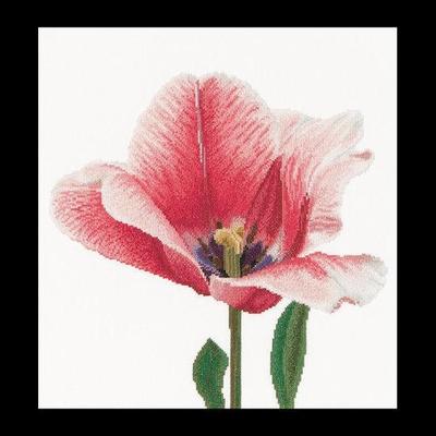 Thea Gouverneur Paarse Darwin Hybride Tulp